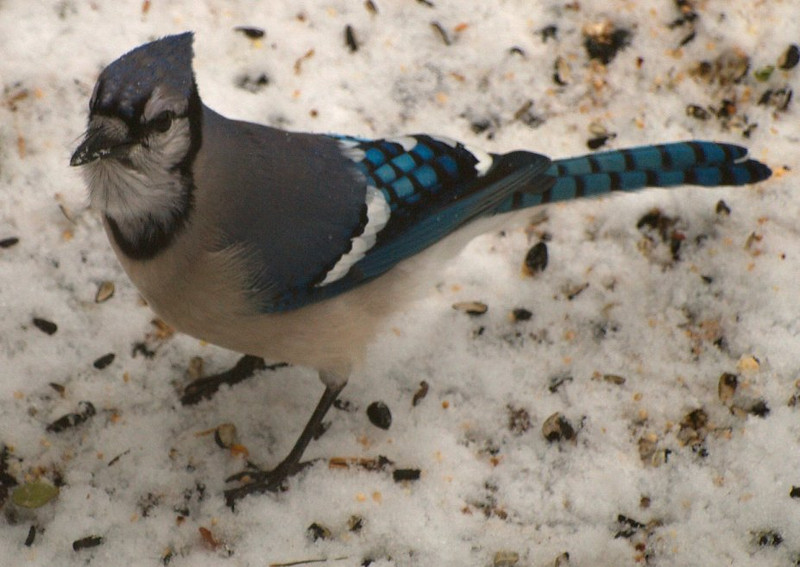 The Elusive Bluejay! <br /> Had to take these pictures through the window since this guy is extremely jittery.