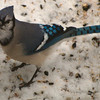 The Elusive Bluejay!