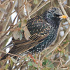 Starling in the Bushes