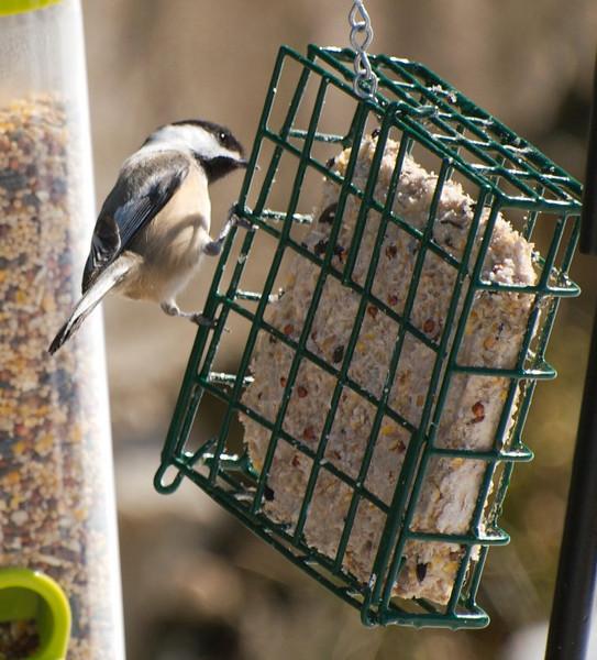 Chickadee Eyeing Up the Grub