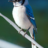 Bluejay in the Sun