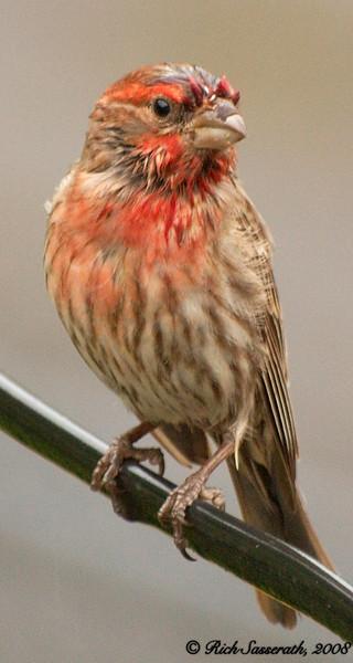 Wet Finch