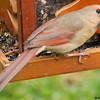 Female Cardinal Dining