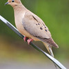 Mourning Dove on the Wire