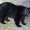 bear010