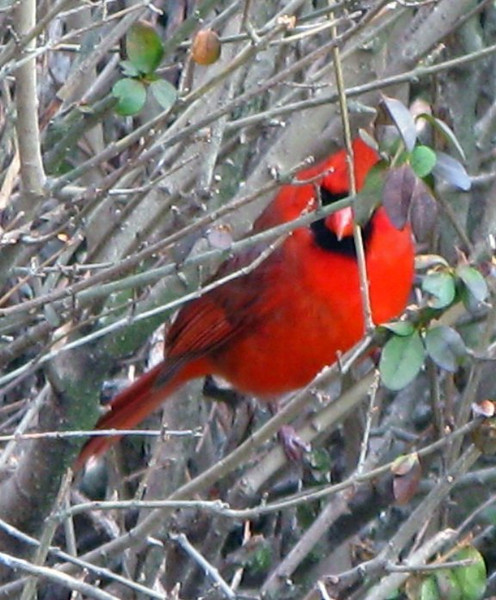 Mr. Cardinal Hiding in the Bushes