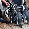 Feeding Time for the Penguins