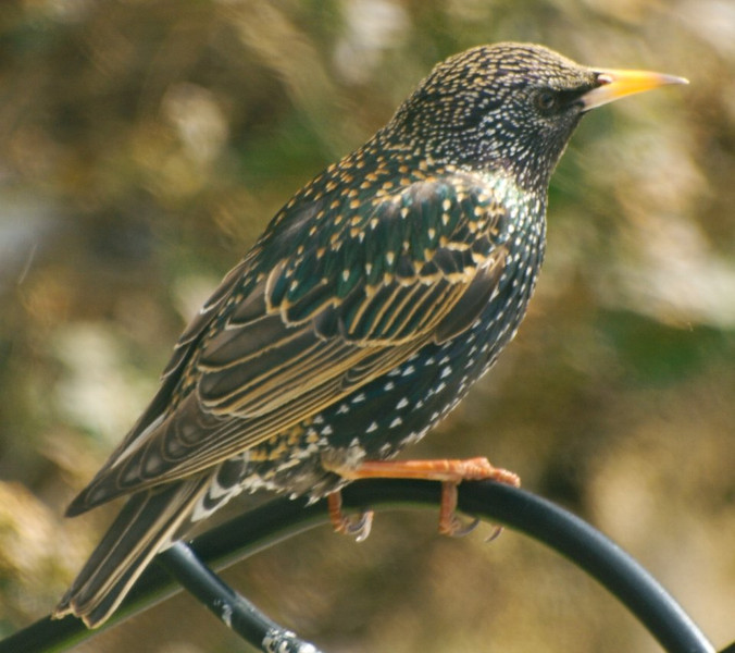 Starling Atop Perch