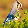 Bluejay in Bushes 2