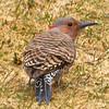 Female Eastern Flicker Woodpecker