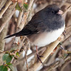 Junco Profile