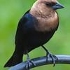 Cowbird Profile