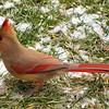 Pretty Female Cardinal