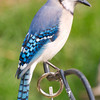 Pretty Bluejay