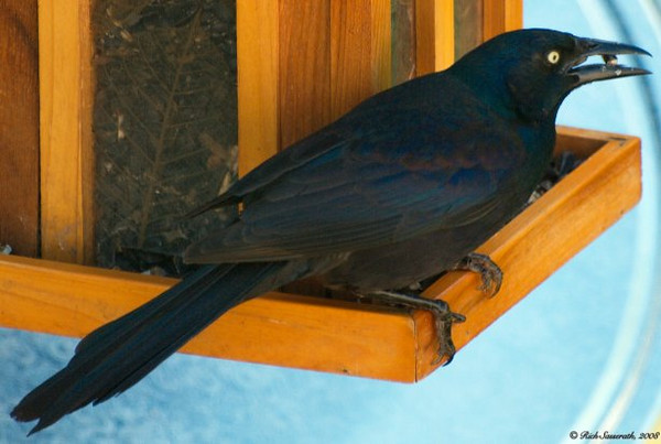 Grackle with Seed