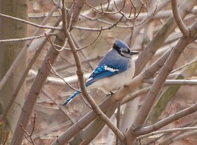 bluejay02