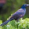 Purple Grackle, Male