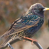 Frequent Flyer Starling