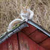 Squirrel on a Cold Shingled Roof