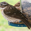 Female Grosbeak Through Window