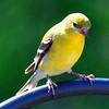goldfinch05