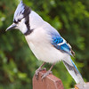 Bluejay on Wooden Fence