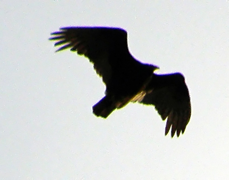 Turkey Vulture Using Digital Zoom