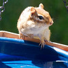 Chipmunk on Bath