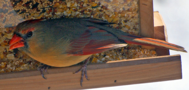 Female Cardinal Shot Through Window