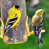 goldfinch015