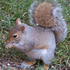 Brown-Footed P.I.T.A. Squirrel