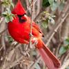 Vibrant Cardinal
