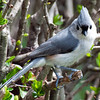 Tufted Titmouse Frontal