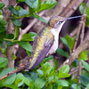 Hummingbird in Bushes