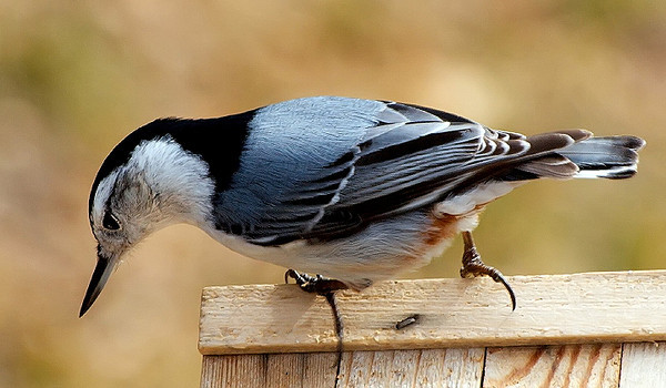Pretty Nuthatch