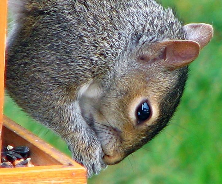 Closeup of My Buddy (On My Feeder!)