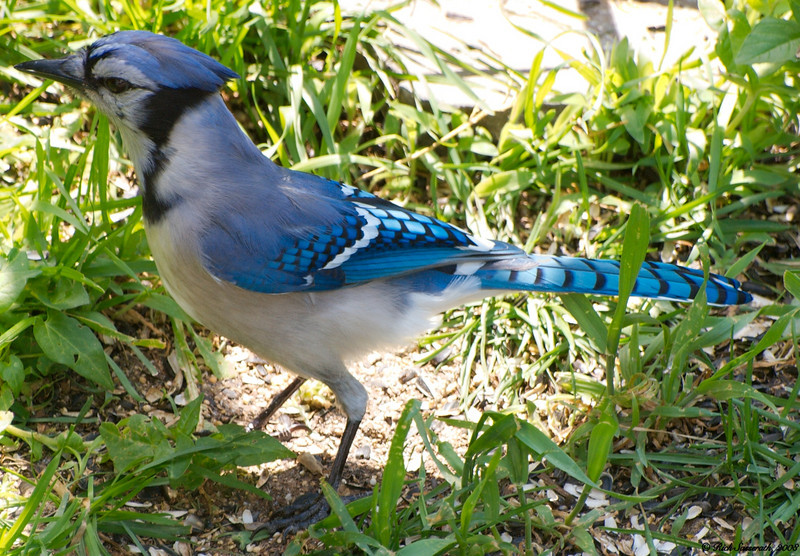 Bluejay Grounded