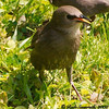 Young Starling (I Believe)
