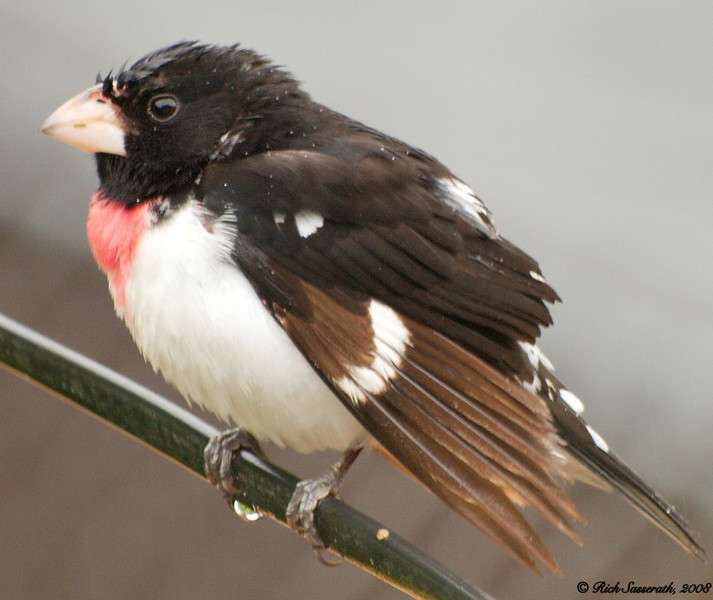 Male Grosbeak on a Wire