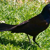 Grackle on Ground
