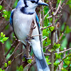 Blue Jay in Bushes