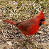 Grounded Male Cardinal