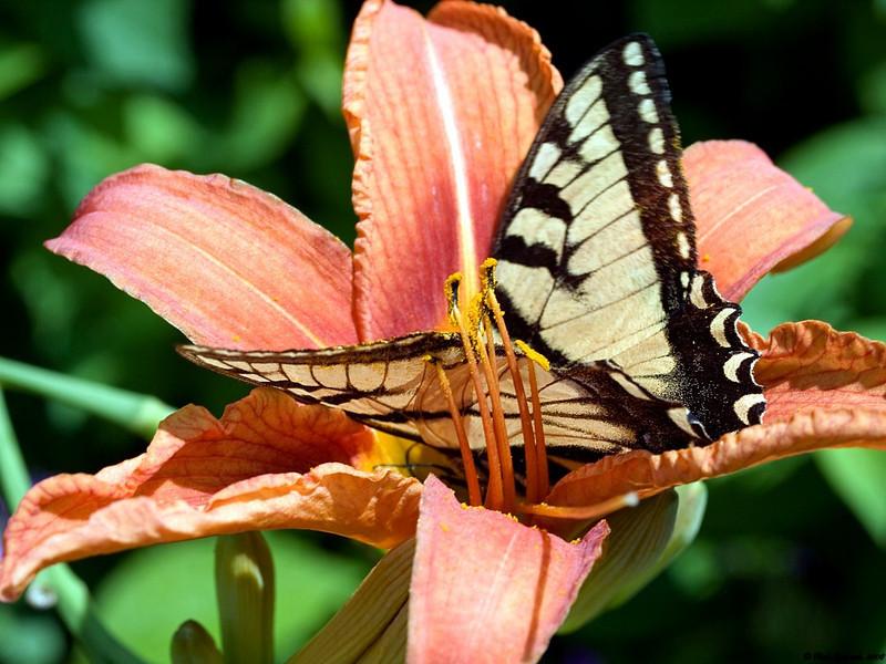 Butterfly in Tigerlilly