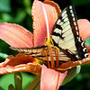 Butterfly in Tigerlilly