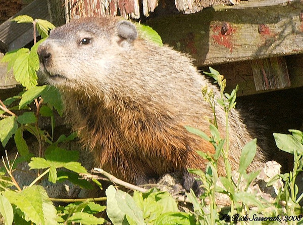 Groundhog in Neighbor's Yard