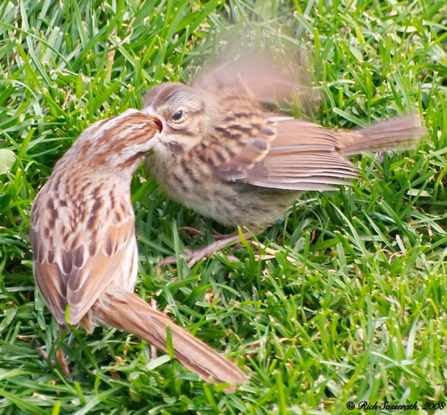 Mom Feeding Baby Sparrow