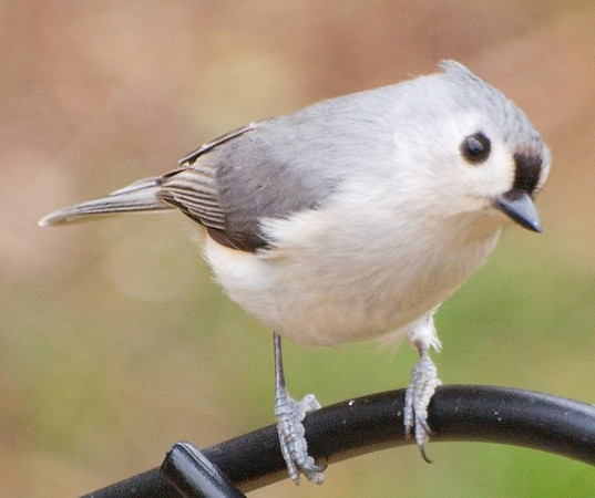 My Favorite, the Titmouse