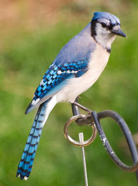Bluejay in Back Yard