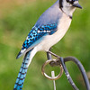 Bluejay in Back Yard