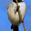 Chickadee on Branch